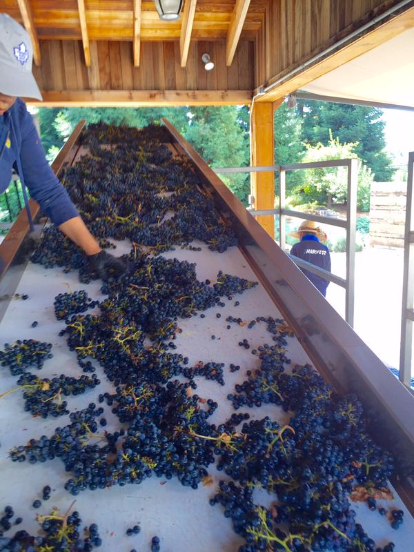 The Duckhorn team hand sorting clusters of Patzimaro Vineyard Cabernet Franc.
