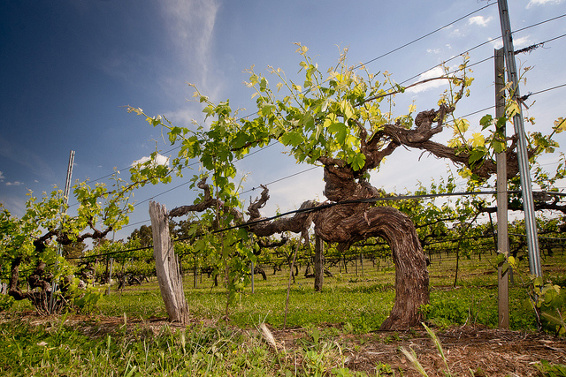 Old vines tend to appear more gnarly