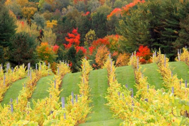 Michigan, Leelanau Peninsula, Traverse City, Willow Vineyards, vines, rows, autumn,