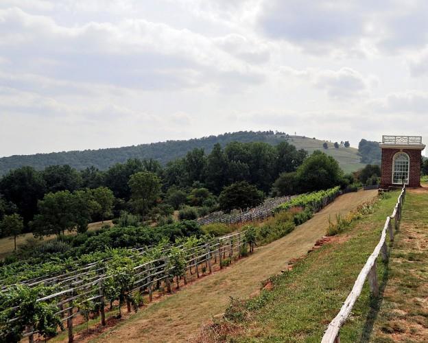 Montecello_vineyard