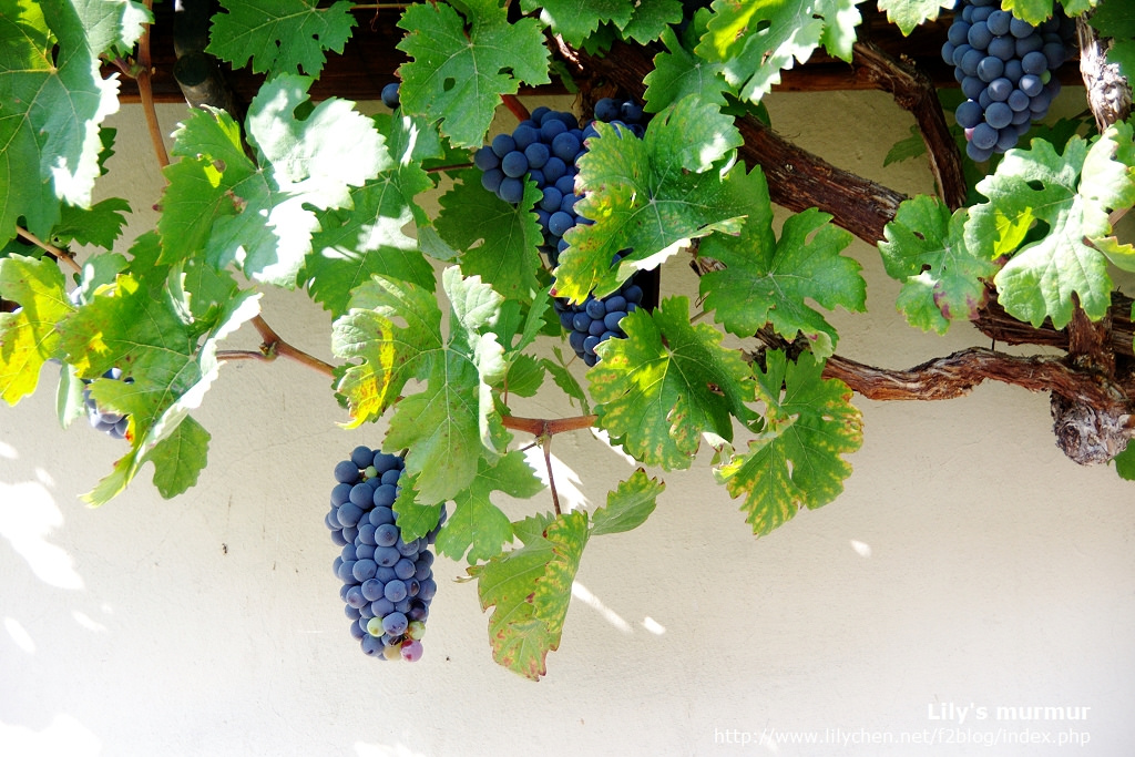 The Remarkable Story Of The Oldest Living Grape Vine On Earth