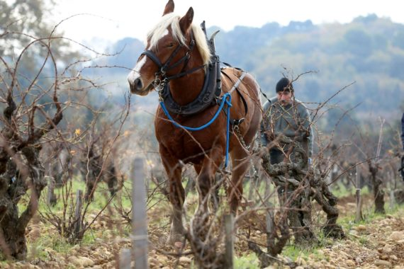 In the springtime Michel Arnaud guides their horse through the vineyard rows, turning up old soil.
