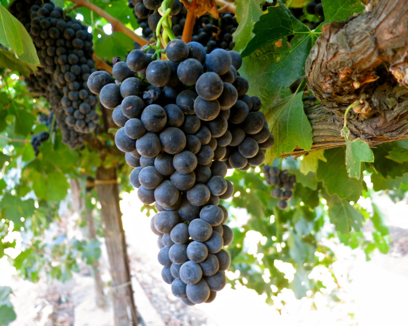 Petite Sirah is anything but a small wine. The name comes from the small size of the grapes.