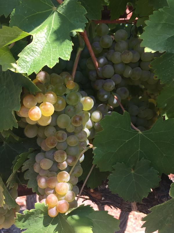 Viognier clusters nearing perfection