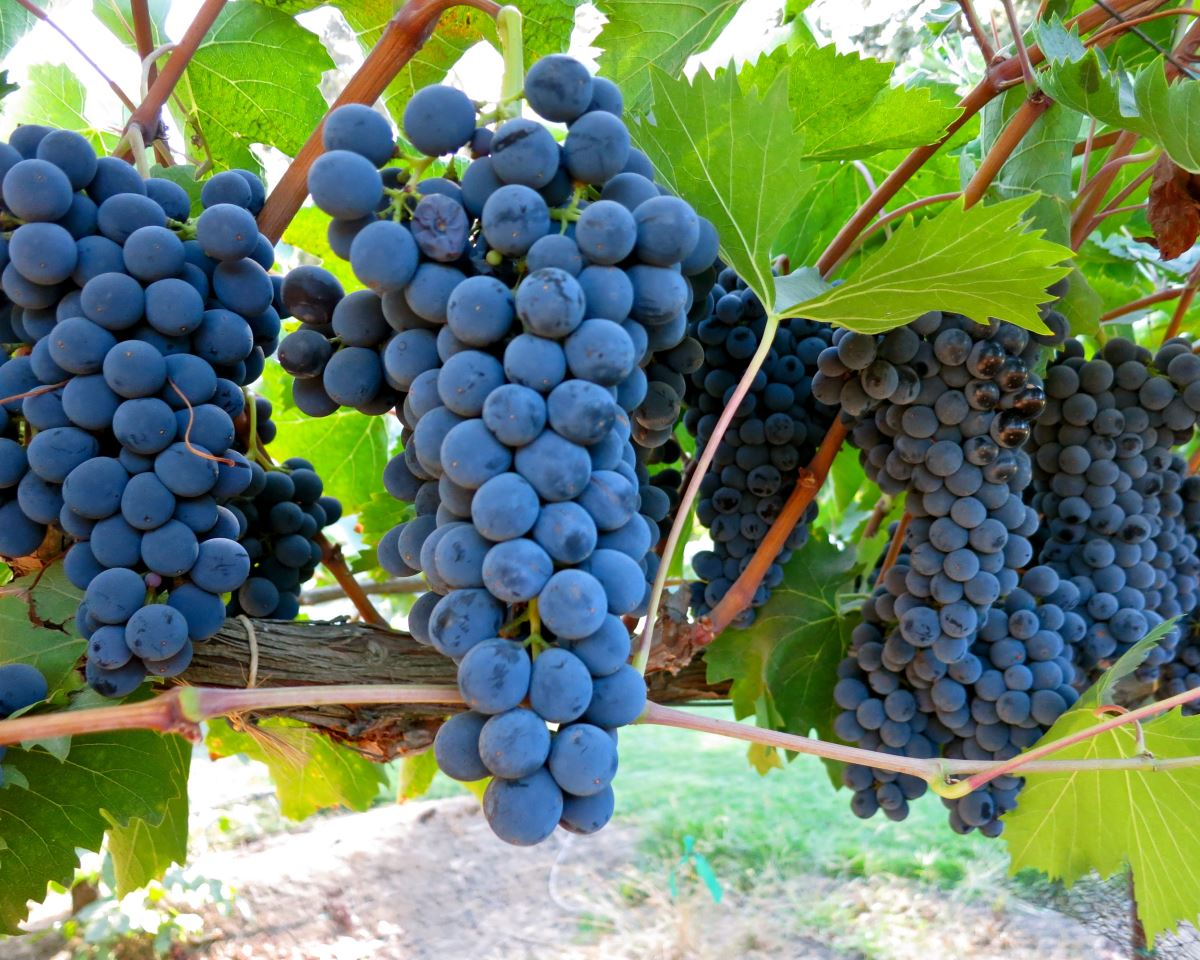 Brunello & Barolo: Two Of Italy's Most Treasured Wines