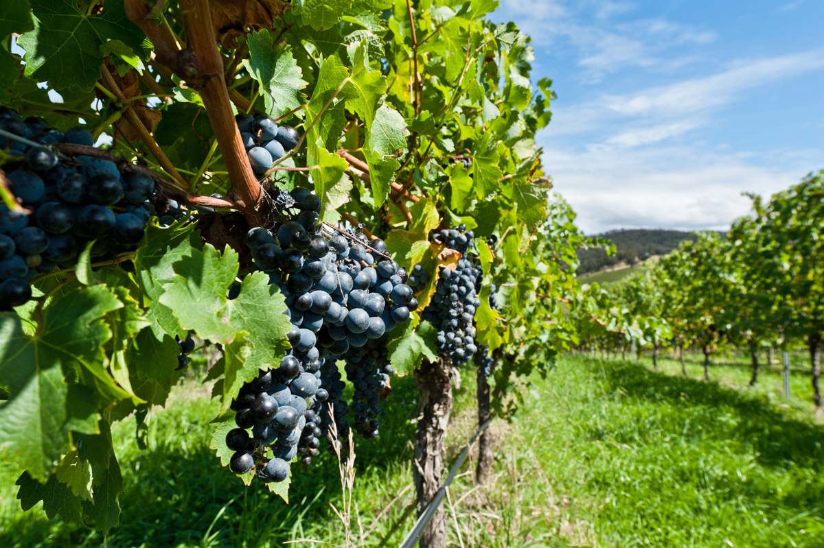 How to identify the true character of Merlot and Cabernet