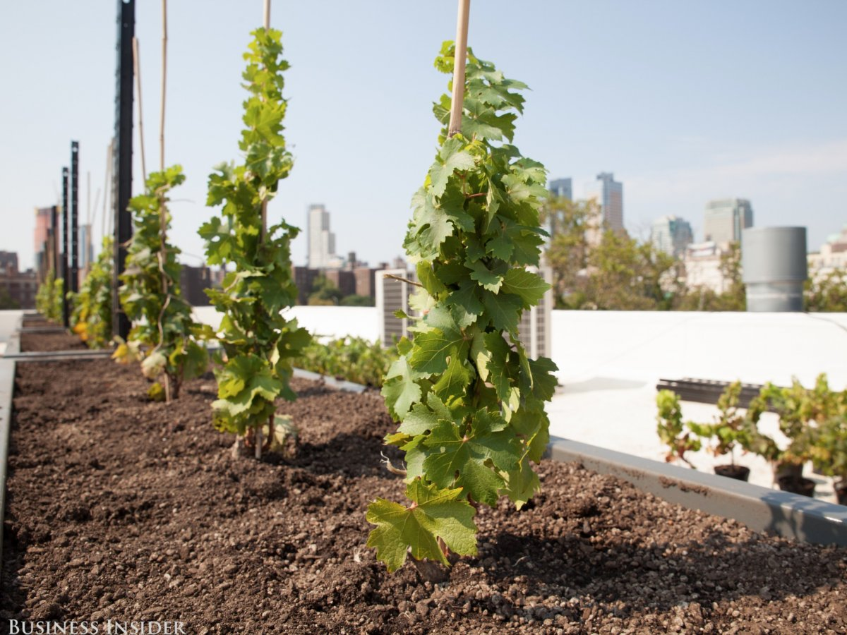 This Urban Winery Just Planted The First Rooftop Vineyard in Brooklyn, NY