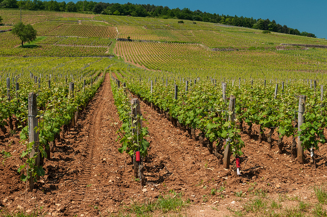 Some of the most expensive wines come from this Romanee-Conti vineyard (source)