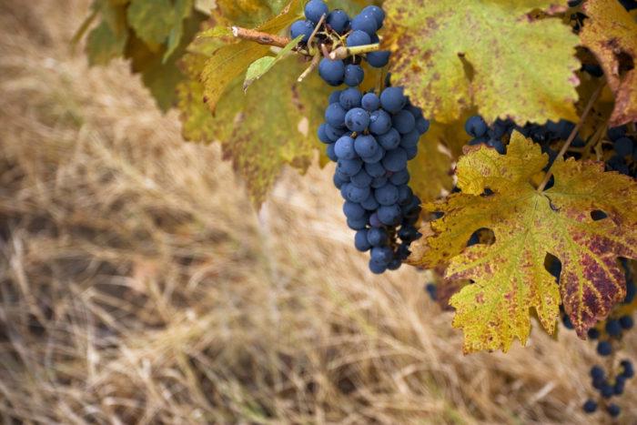 Pinot noir wine grape in autumn