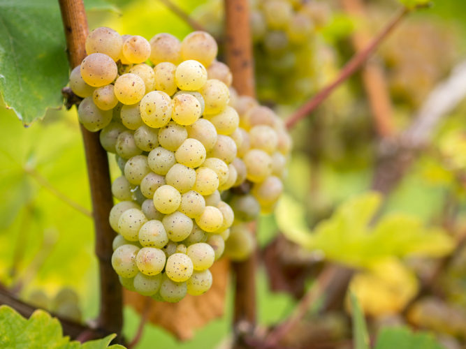 Riesling grapes near ripening