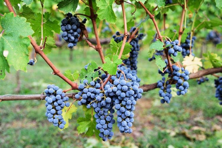 sangiovese-grapes