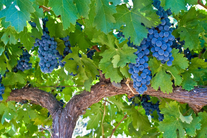 Cabernet is fairly easy to grow. Photo via Flickr.