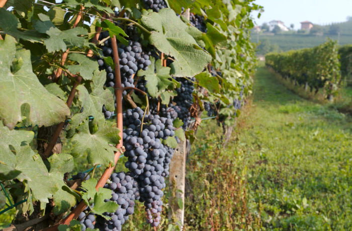 Nebbiolo hanging on the vine. Photo